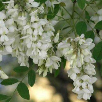 Белая акация цветы