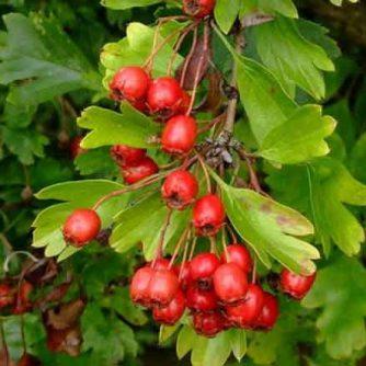 Плоды боярышника 100 грамм