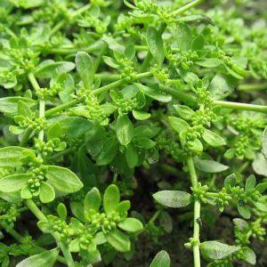 Грыжник трава (гладкий, голый) 50 грамм