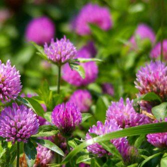 Клевер цветы