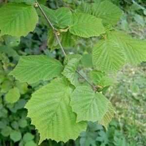 Лещины листья