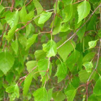 Листья березы (молодые) 50 грамм