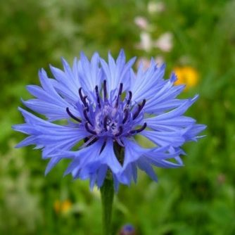 Трава василёк синий