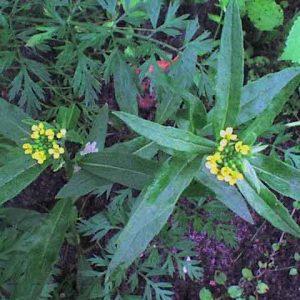 Трава желтушника