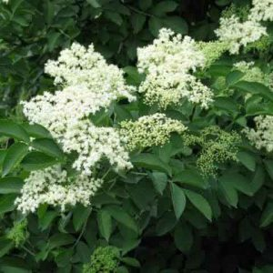 Цветы бузины черной 50 грамм