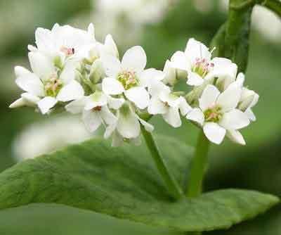 Собираю цветы гречихи.