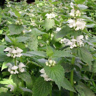 Яснотка белая (трава с цветом) 50 грамм