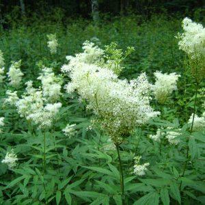 Таволга цвет и лист (лабазник вязолистный) 50 грамм