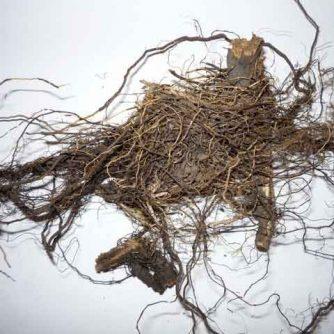 Маралий корень, Левзея сафлоровидная