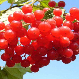 Калина ягода 50 грамм