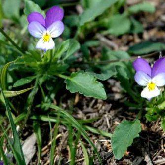 Трава фиалки трехцветной 50 грамм