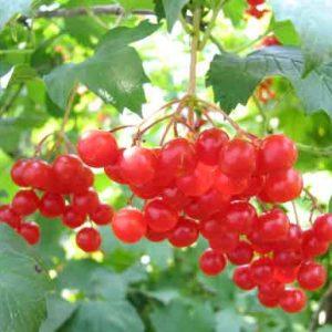 Целебные ягоды и плоды