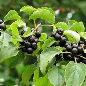 Жостер (плоды жостера) 50 грамм0 грамм