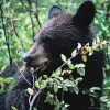 Толокнянка, медвежьи ушки 50 грамм