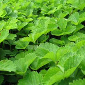 Клубника (листья) 50 грамм