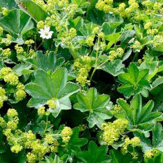 Манжетка трава (измельченная 2-3 мм) 50 грамм