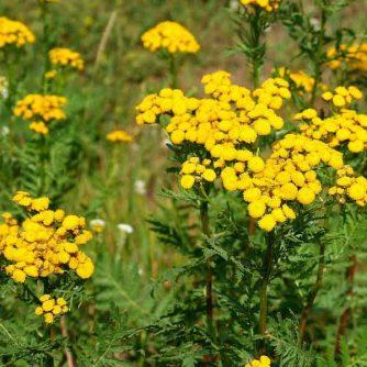 Пижма обыкновенная (лечебная), цветы 50 грамм