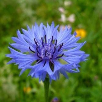 Василёк синий (цвет) 50 грамм