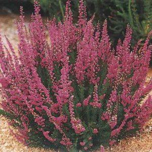 Вереск обыкновенный (цвет) 50 грамм