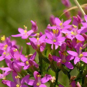 Трава золототысячника 50 грамм