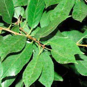 Вишня лист (измельченный 2-3 мм) 50 грамм